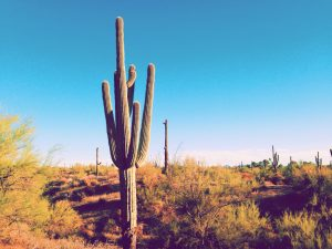 Saguaro cactus in southern Arizona